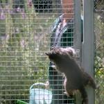 Fütterung der Waschbären